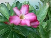 Dick Hefmen - Pink Flower
