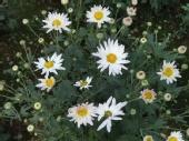 Santosh - Flower
